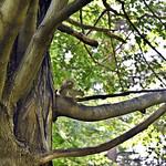 Grey Squirrel In The Sugar Maple thumbnail