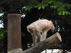 DSCN3740 (yoshitoshi ABe) Tags: 20170514 吉祥寺 井の頭自然文化園 nikon coolpixp900 サル