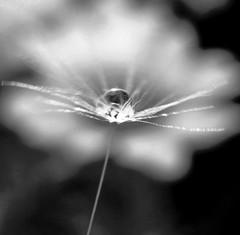 ... (annamariagiacomini) Tags: macro soffione gocce riflessomargherite biancoenero