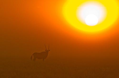 Gemsbok sunrise, Deception Valley , Central Kalahari National Park , Botswana .