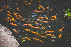 Koi (Kou Thao) Tags: animals nature wildlife hawaii scenery photograhy kokohead adventure vintage vibes tropical airplane sky sunset clouds traveler luau horse jungle koi fish pond
