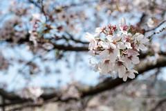 S17X8764 (Daegeon Shin) Tags: fujifilm xpro2 nikkor 55mmf28 mf manualfocus flower flor cherry cherryblossom cerezo dof bokeh 후지 니콘렌즈 수동 수동촛점 꽃 벚꽃 심도 보케 빛망울