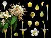 Sterculiaceae Reevesia formosana (taiwanicus) Tags: 兩性花 bisexual flower 柱頭 stigma 子房 ovary 雌蕊 pistil 雄蕊 stamen