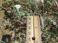 Rinnie_8283 (dimensions of biodiversity) Tags: oenothera californica californicaavita california yucca valley joshuatreelane rinnie 2017 yuccavalley