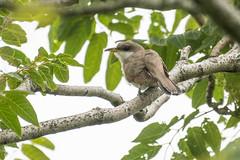 yellow-billed cuckoo (avocado6984) Tags: newjersey yellowbilledcuckoo coccyzusamericanus