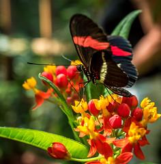 A butterfly in Biosphere Potsdam (Sergey Galyonkin) Tags: 2017 berlin biosphere forest garden germany green june park potsdam tropical
