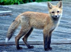 DSC_0833 (rachidH) Tags: fox renard vulpes foxcub renardeau redfox renardroux vulpesvulpes backyard frontyard wildlife sparta newjersey nj rachidh nature