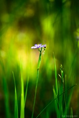 Steeped in Tenderness... (mc_icedog) Tags: morning wildflower purple green nature outdoors shallow depth field grass sun bokeh colors illumination landscape summer