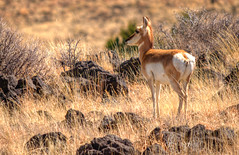 Antelope (ap0013) Tags: nm newmexico new mexico capulin volcano national monument capulinvolcano nationalmonument antelope wildlife landscape
