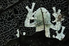Cochrane's glass frog (Cochranella mache) (pbertner) Tags: glassfrog bilsareserve ecuador rainforest southamerica pacificcoastal