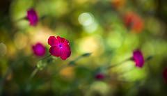 Early one Morning (paulapics2) Tags: droplets bright fleur flora floral garden nature plant june canoneos5dmarkiii sigma105mmf28exdgoshsmmacro lychniscoronaria blümen pink cerise colourful