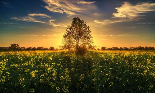 The Hub (Chrisnaton) Tags: canolafield sunset sundown surreal nature landscape tree eveningmood eveningsky sunthroughtree switzerland yellowandblue yellowfield colorsofnature