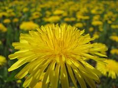 close-up (elisabeth.mcghee) Tags: taraxacum officinale löwenzahn dandelion gelb yellow plant pflanze