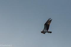 Schotland 2017-144 (Switch62) Tags: scotland 2017 aberfoyle osprey visarend lake menteith
