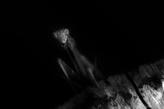 Monster (Nicolas Rouffiac) Tags: insecte insectes insect macro macros proxy nature animal animaux animals monstre monster mante religieuse praying mantis bw nb dark alien fear peur ténèbres