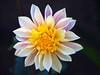 016 My New Dahlia (saxonfenken) Tags: 6657flower 6657 dahlia white pink yellow flower garden dof macro challengeyouwinner challengeyouwinnerunam perpetual pregamewinner friendlychallenges tcf anythinggoessweep gamesweep