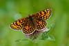 Heath Fritillary (ABPhotosUK) Tags: animals butterflies butterflyconservation canon devon ef100400mmisii ef25mmextensiontube eos7dmarkii heathfritillary invertebrates lepidoptera lydfordoldrailway macro melitaeaathalia naturereserves nocrop nymphalidae wildlife