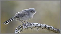 black-tailed gnatcatcher (Christian Hunold) Tags: blacktailedgnatcatcher songbird bird bokeh schwarzschwanzmückenfänger sabinocanyon sonorandesert arizona christianhunold
