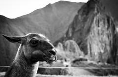 Llama pal taking in the sights (nicolechamilton) Tags: animal llama machupicchu peru ruin ruins inca sacred blackwhite bw nikon