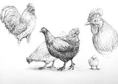 Chicken Sketches (Marcos Telias) Tags: bolígrafo boceto dibujo pollo gallo gallina pen draw drawing sketch hen rooster chiken illustration ilustración bosquejo arte artista artist ballpoint lápiz fantasy
