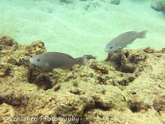 Hanauma Bay 5 (venusnep) Tags: hanaumabay hanauma bay underwater tropicalfish tropical fish iphone watershot watershotpro hawaii snorkeling travel travelphotography may 2018