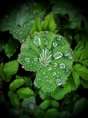 Lady's Mantle (Krasniza) Tags: ladysmantle mantle frauenmantel krasniza greens afterrain raindrops
