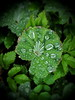 Lady's Mantle (Krasniza) Tags: ladysmantle mantle frauenmantel krasniza greens afterrain raindrops
