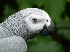 African Grey Parrot (Toats Master) Tags: birds parrot africangrey wings feathers flight nature