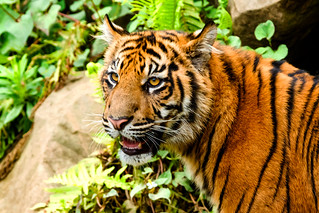 Sumatran tiger's child of  Yokohama Zoological Gardens