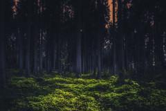 Massanei forest (steffen#) Tags: natur wald ligt color landscape tree pine forest trekking travel nature wide land mist landschaft thiênnhiên rừng ánhsáng màuxanhlácây câycối טבע יער אור ירוקים עצים природа лес свет зеленый деревья skog ljus grönt träd