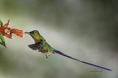 Violet-tailed Sylph Hummingbird (rickdunlap2) Tags: aglaiocercuscoelestis violettailedsylph hummingbird bird animal wildlife ecuador