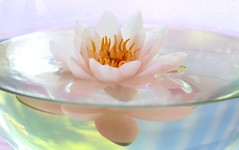 floating in a bowl (HansHolt) Tags: waterlily water lily waterlelie nymphaea nymphaeamarliaceaalbida nymfea white wit floating drijvend vase vaas bowl kom glass glas divide waterlevel reflection weerspiegeling reflectie macro canon 6d 100mm canoneos6d canonef100mmf28macrousm