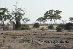 Helmeted Guineafowl at Watering Hole (naturalturn) Tags: flock guineafowl helmetedguineafowl savanna wateringhole water savuti chobe chobenationalpark botswana image:rating=5 image:id=205951