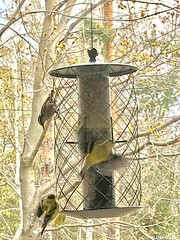 © Dan Gulley (WBU Barrie) Tags: wildbirdsunlimited wbubarrie barrie birds birding birdfeeding backyardbirds backyardbird birdfeeders simcoecounty ontario canada nature wildlife american goldfinch finch redbreasted nuthatch tube feeder nyjer thistle seed sunflower
