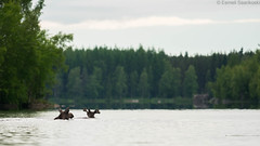 Lake view with swimming Elks [Explored] (Dreemeli) Tags: alcesalces elk hirvi luonto mammal mammalia nature nisäkäs d7200