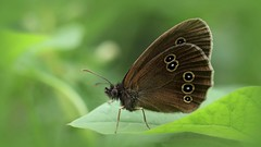 Ringlet ~ Aphantopus hyperantus  {explored} (Cosper Wosper) Tags: ringlet aphantopushyperantus shapwick somersetlevels explored