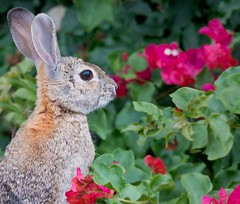Stop and Smell the Flowers (Don's Photostream) Tags: flower rabbit animal