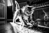 Minù 2 (GE) (Ondablv) Tags: le chat minù micio cat felino gatto gatta gattona gattone micione miciona miao cats portrait ondablv gatti mici felini animale buffo simpatici simpatico animali black white bianco nero occhio eyes fuoco focus trasparente sguardo