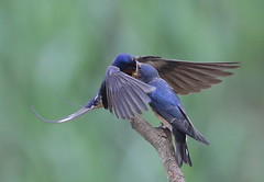 Swallow feeding young3