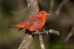 Summer Tanager (Matt Shellenberg) Tags: bird red summer tanager summertanager