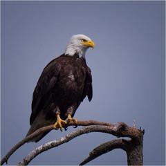 taking a break from motherhood (marneejill) Tags: eagle bald french creek bc canada tree