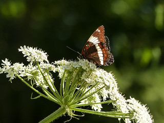 03 White Admiral on Cow Parsnip