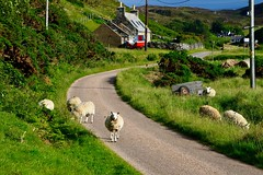 The ewes of Skerray harbour. (rustyruth1959) Tags: nikon nikond3200 tamron16300mm scotland sutherland skerray skerrayharbour sheep ewes animals road grass cottage building house signpost outdoor boat trailer fern garden highland