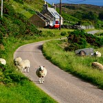 The ewes of Skerray harbour. thumbnail