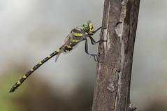 Predator (Aristides Díaz) Tags: libélulatigre macro riberafluvial riodúrcal sierranevada sigmaapo180macrof56 odonato libélula onychogomphusforcipatus