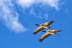 Together for Life (ZeePack) Tags: sky bird nature flight animal fly wildlife pair outdoors wing cranes vulnerable threatened revered highaltitude noperson tsokar canon india ladakh buddhist tibetanplateau 5dmarkiii blacknecked grusnigricollis jammukashmir milestoneenterprisein milestoneenterprise