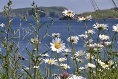 Daisies, Ocean, and Islands (vanessa violet) Tags: july summer flower daisy newfoundland nl nfld island ocean