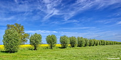 Baumreihe (garzer06) Tags: himmel wolken blau weis grün gras baum schweikvitz deutschland baumreihe naturephoto vorpommernrügen mecklenburgvorpommern gelb naturfoto landschaft naturephotography landschaftsbild insel rügen landschaftsfoto vorpommern landscapephotography inselrügen landschaftsfotografie