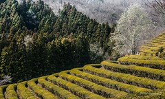 2017. Boseong. (Marisa y Angel) Tags: 2017 boseong corea corée daehandawon korea plantacióndeté rok republicofkorea southkorea teaplantation teafields té