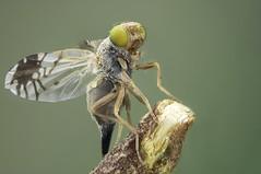 Tephritidae,  Capitites ramulosa, Female (dorolpi) Tags: